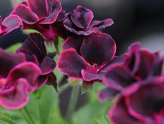 The heirloom variety from Pelargonium 'Lord Bute' is almost black. Flowers Perennials, Summer Garden, Pelargonium, All About Plants, Plants, Geraniums, Planting Flowers, Language Of Flowers, Gardening Blog