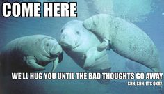 I am a manatee, and I love you. Here is the official home of all calm manatees. Here is where you can donate to Save the Manatees.And here is where you can take action save manatees! Funny Animals, Cute Animals, Sea Cow, Gentle Giant, Animals Of The World, Sea Creatures, Spirit Animal, Funny Cute, Manatees