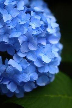 ♥♥ Blue flowers for MY Beautyanimous One! ♥♥ Hydrangea