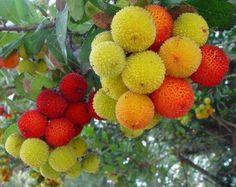 Arbutus unedo-----understandable why a folk name is 'strawberry tree.'