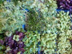 "Twitter / TotalEquityNow: ""Microgreens"" at @AstorRowCafe, ..."