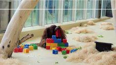 """""""O Grito do Bicho"""": Orangotango brinca com lego e mostra sua inteligên..."""