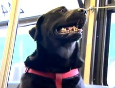 A dog named Eclipse rides the public bus to the dog park by herself -- watch the viral news story! I Love Dogs, Puppy Love, Seattle Dog, Dumb Dogs, Dog Whisperer, Poor Dog, Dogs And Puppies, Doggies, Dog Park