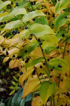 Eclectic Landscape By Barbara Pintozzi The Native Solomon S Seal Shown Here Polygonatum Commutatum Offers Both Colorful Berries And Fall Foliage