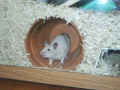 Rennmaus Topf Sommer Kühlung auch für den Hamster? - #AUCH #den #für #hamster #Kühlung #Rennmaus #Sommer #Topf Hamster Cages For Sale, Diy Hamster House, Gerbil Cages, Hamster Habitat, Hamster Toys, Hamsters, Sound Science, Pet Cage, Diy Cardboard