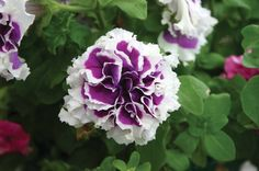 Purple and white double petunias, an All America Selection. These distinctive bi-colors really struck our fancy. They perform well in a hanging basket although they are quite tall, 15 inches, and erec                                                                                                                                                      More