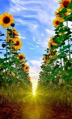 Sunflower and Sunrise Sunflower Pictures, Sunflower Art, Sunflower Fields, Sunflower Garden, Happy Flowers, Flowers Nature, Beautiful Flowers, Sunflowers And Daisies, Growing Sunflowers