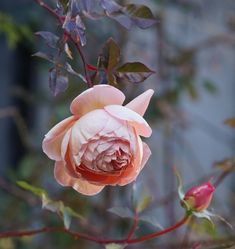 'Abraham Darby' in my garden today. I love winter Darby. He is grown as a short climber against the wall that faces due south. He can bloom untill January if calm weather like today continues. #rose #roses #englishrose #davidaustinroses #rosegarden #garden #mygarden #myrosegarden #decemberrose