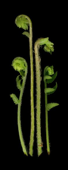 Fiddleheads scanography of four green fern by ladylucy Fern Frond, Belleza Natural, Outdoor Plants, Green Plants, Shade Garden, Botanical Illustration, Natural World, Amazing Nature, Shades Of Green