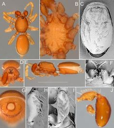 These 71 new species belong to the genus Opopaea, also known as 'jelly bean' Goblin spiders, because a part of the male sexual organ looks like a little orange-brown jelly bean. This genus has been revised as part the international Planetary Biodiversity Inventory project to study the systematics of goblin spiders worldwide. This work increased the number of described Opopaea species in Australia from 13 to 84.
