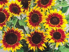 Ring Of Fire Sunflowers. Cutting Season: Summer/Fall. $$