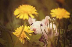 Rat Smelling Flowers