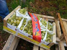 FOGLIE: Viva Frutta: uva seedless ok ma settembre sarà tos...