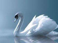 El Cisne Blanco-417152_800.jpeg (800×600)
