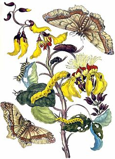 loveisspeed.......: Maria Sibylla Merian (2 April 1647 – 13 January 1717) was a German naturalist and scientific illustrator who studied plants and insects and made detailed paintings about them. Her detailed observations and documentation of the metamorphosis of the butterfly make her a significant, albeit not well-known, contributor to entomology..