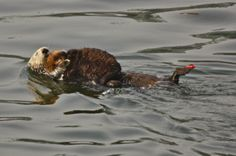 otter's again.... simply adorable.