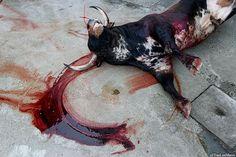 bleeding bull