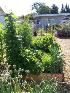 HOMEGROWN Life: Raised Beds vs Rows (HOMEGROWN.org)