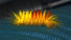 The Fiery and Furry Sycamore Moth Caterpillar Pet Rodents, Moth Caterpillar, Chenille, Gods Creation, Love Bugs, Woodland Creatures, Cool Photos, Amazing Photos, Science Nature