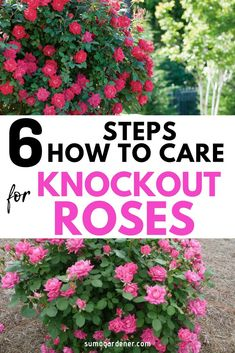 Learning how to care for Knockout Roses is very easy. They are designed to tolerate heat and are hardy and durable. #gardeningtips #flowers #roses #sumogardener