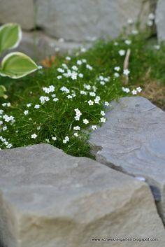 Sternmoos (sagina subulata)