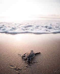 Baby turtle going out to sea for the first time Animals And Pets, Funny Animals, Animals Sea, Funny Dogs, Sea Turtle Pictures, Cute Baby Turtles, Save The Sea Turtles, Turtle Love, Turtle Beach