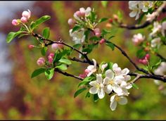 crabapple tree blossoms