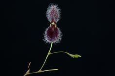 Pleurothallis flexuosa | by thomas_orchids