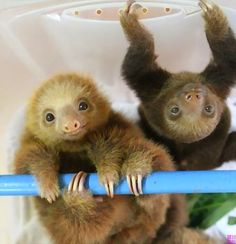 Baby sloths... I'm in love with these adorable animals!