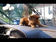Dog Sits Quietly In The Car. When He Sees The Windshield Wiper Move, I Can't Stop Laughing!