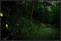 """""""Elkmont Synchronous Fireflies #1"""" Great Smoky Mountains 