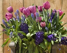 Buy bulb lasagne collection for pots Bulbs for pots - Rich blues - Buy a collection of 110 bulbs for or buy 2 + get extra 10 free bulbs: 1 collection: Delivery by Crocus Garden Shop, Dream Garden, Lawn And Garden, Planting Bulbs In Spring, Spring Bulbs, Colorful Flowers, Spring Flowers, Apartment Plants, Tulip Bulbs