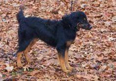 Roxy is an adoptable Gordon Setter Dog in New Milford, CT. Roxy is a beautiful Gordon Setter / Springer Spaniel mix.  A lovely girl, one year old, 30 lbs.  Very smart, a really fast learner.  Roxy is ...