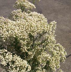 Riceflower: all year $