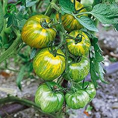 Solution Seeds Farm Heirloom Middle Green Tomato with Yellow Stripe Organic Seeds, Original Pack, 20 Seeds / Pack, Sweet Tasty Juicy Vegetable