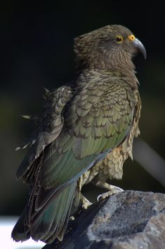 Arthur's Pass, August By Corey Mosen. Birds Online, Bird Perch, Beautiful Birds, Brown And Grey, Parrot, New Zealand, Creatures, Nature, Image