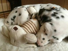 dalmatian baby.......awwww...look at the baby.......