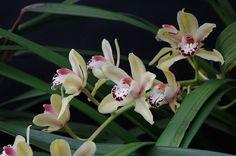 File:Orchidée - Kew Gardens 4.JPG
