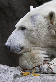 Polar Bear -- I hope it is in the wild but I have a feeling it is in captivity....