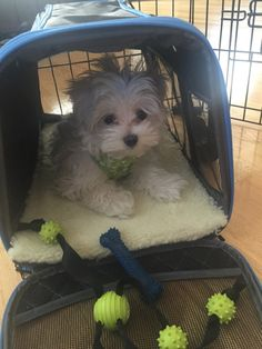 for the love of...puppies  For more information about Maltipoo dogs visit https://www.teacupdogdaily.com/maltipoo-breed/