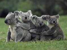 Koala Bear family