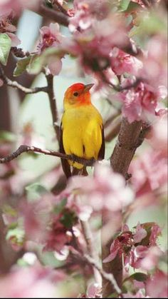Western Tanager in the orchard!