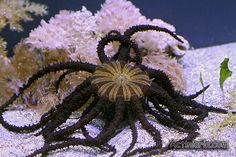 This species resembles a sea star or a brittle star rather than an anemone. Its rather small body is hidden in the sand and only disk with long stingy tentacles is visible on surface. Actinostephanus haeckeli is the only species of the genus Actinostephanus which, together with Megalactis and Actinodendron belongs to the family Actinodendronidae with members also known as Hell's fire anemones.
