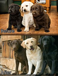 Before and After. Lab Puppies Grow Up.  Oh my, this is definitely precious beyond words.