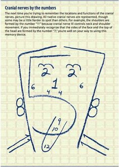 Cranial nerves by the numbers.clever way to remember which cranial nerve controls what! This would have been helpful when I was in school! Nursing School Tips, Nursing Tips, Nursing Notes, Ob Nursing, Nursing Career, Nursing Schools, Pa School, Medical School, Optometry School