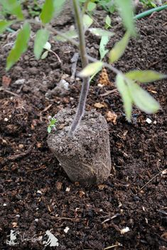 how to plant tomatoes-tips Seedlings, Plants, Tomato Plants, Tomato, Home And Garden, Outdoor Decor, Flowers, Garden Sculpture, Garden