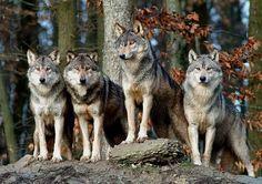 Wolf6.jpg 700×495 pixels