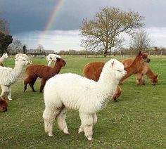 When it rains look for alpacas. I mean rainbows. Alpacas, Cute Baby Animals, Farm Animals, Animals And Pets, Cute Alpaca, Baby Alpaca, Cute Creatures, Beautiful Creatures, Funny Llama