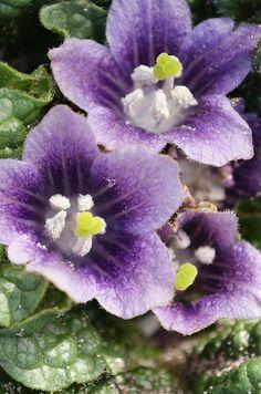 Mandrake Flower, Mandragora Officinalis Stock Photo - Image: 45494241