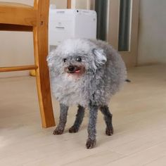 Goma, a toy poodle who lives in Japan, has his fluffy fur trimmed short on his legs and left long on his body.